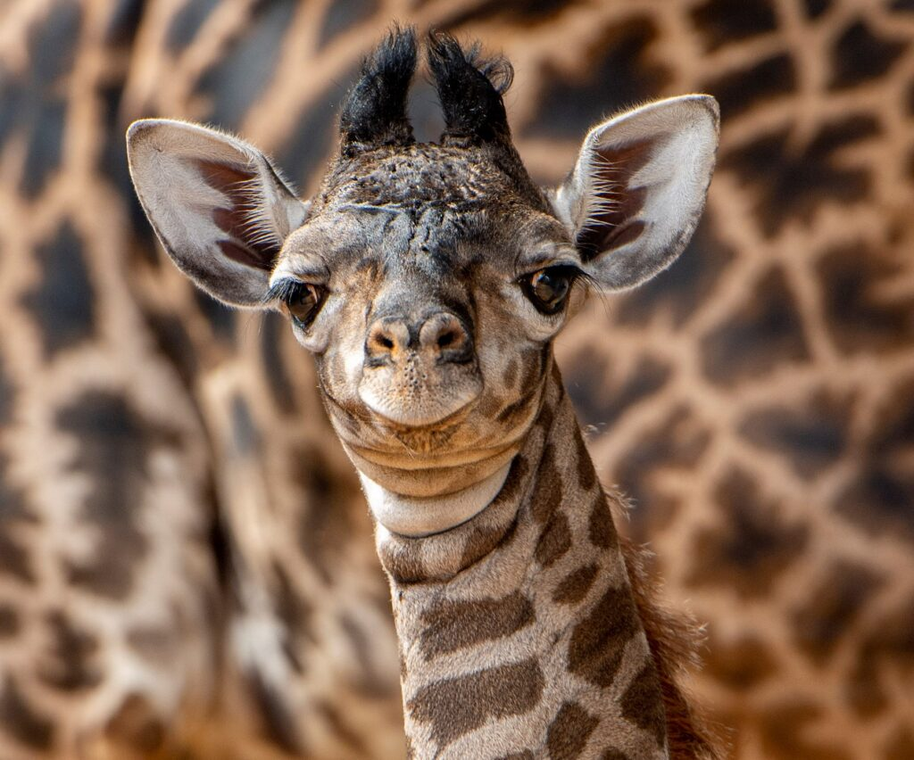 Disney World presenta adorable jirafa macho recién nacido