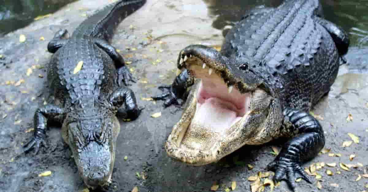 Caimán ataca a una mujer en Florida